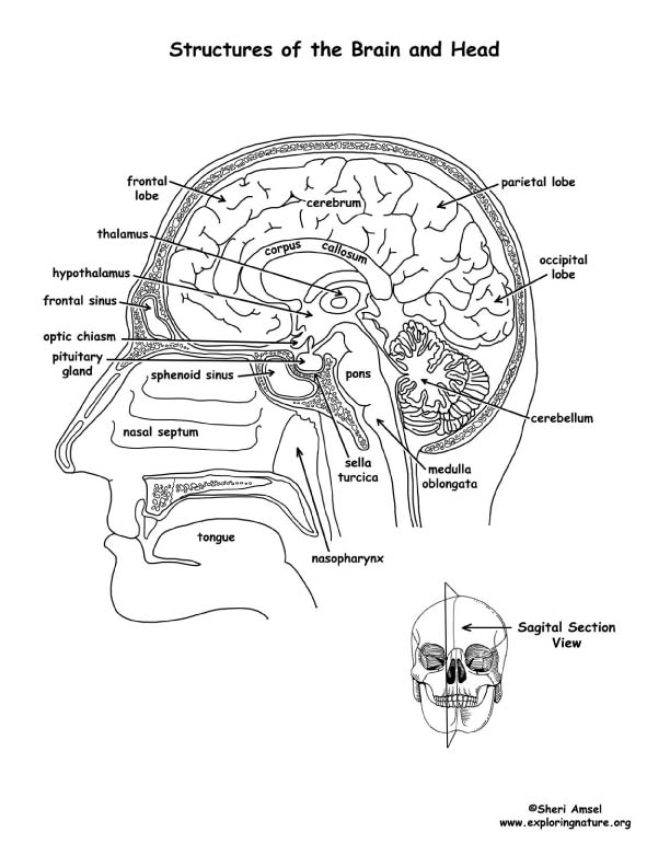 It's just a picture of Unforgettable Brain Anatomy Coloring Book