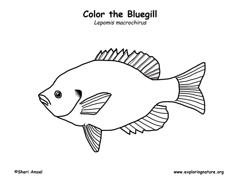 Bluegill Coloring