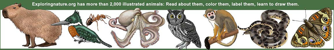 Exploringnature.org has more than 2,000 illustrated animals. Read about them, color them, label them, learn to draw them.