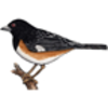 Rufus-sided Towhee