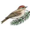Kinglet (Ruby-crowned)