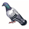 Pigeon (Common) or Rock Dove