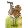 Bustard (Great)