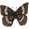 Butterfly (White Admiral)