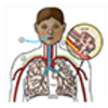 Functional Parts of the Respiratory System