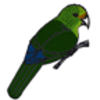 Parakeet (Orange-fronted) or Kakariki